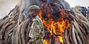 ivory burning